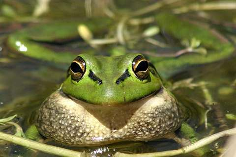 Frog in pond