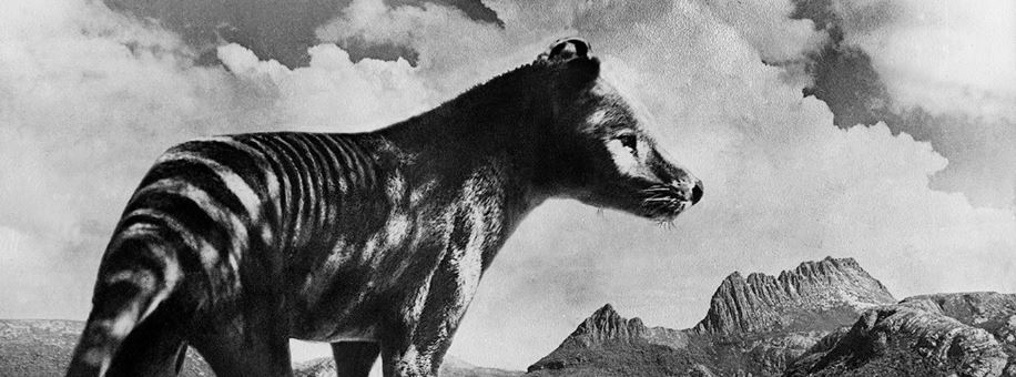 Thylacine City of Launceston QVMAG.JPG