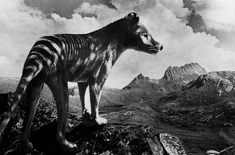 Thylacine by HJ King